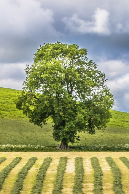 Branton Oak