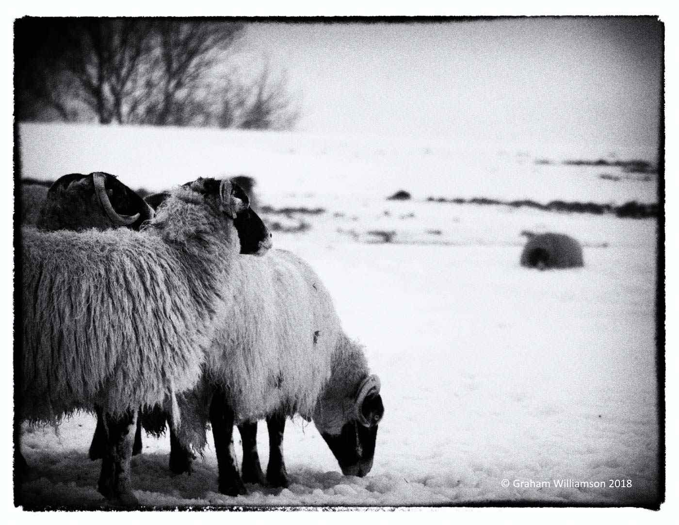 Composed Sheep